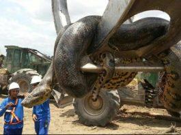 Длиной в 10 метров и весом в 400 кг. В Бразилии обнаружили анаконду — монстра