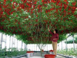 В Израиле вырастили помидорное дерево невероятных размеров — это стоит увидеть!