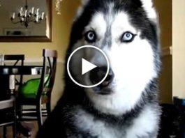 Поразительно умная собака хаски по имени Мишка говорит 12 слов!