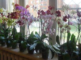 НИКОГДА, никогда не держите орхидею дома! В офисе — можно, дома — нет