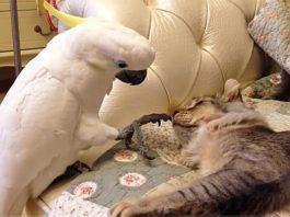 Хитрый попугай научился мяукать и шипеть. А что делать, жизнь такая!