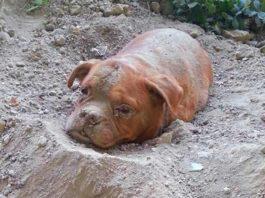 Парень прогуливался со своей собакой, внезапно он увидел дога, которого живьем закопали люди