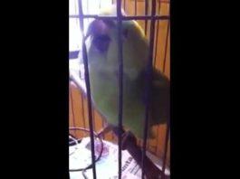 После появления в семье младенца, попугай «запел» по-другому…