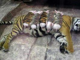 Тигрица потеряла своих детенышей и сильно тосковала, тогда работники зоопарка надели на поросят полосатые костюмы и завели их к ней в клетку…