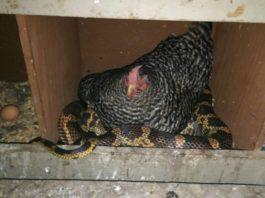 Фермер увидел в курятнике невероятную картину: курица пригрела под своим крылом змею