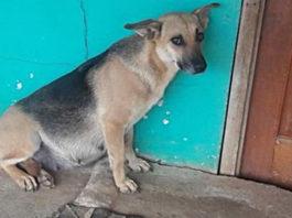 Люди переехали и бросили беременную собаку. Бедняга целый месяц ждала хозяев под дверью…