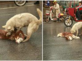 Смотрите, как собака пытается ″разбудить″ своего мертвого друга, сбитого автомобилем