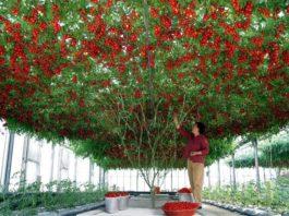 В Израиле вырастили невероятных размеров помидорное дерево — это стоит увидеть!
