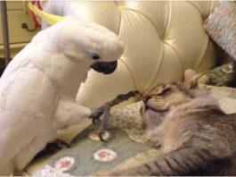 Умный Попугай Научился Шипеть И Мяукать. А Что Делать, Жизнь Такая!