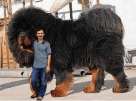 Самая дорогая собака на земле! Как выглядит тибетский мастиф