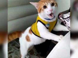 Кот-болельщик, который кричит «Гол!» уже набрал тысячи просмотров в сети