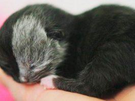 Потрясающие снимки! Котенок- химера превратился в роскошного кота
