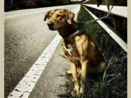 Хозяин просто привязал собаку на дороге к отбойнику и уехал…