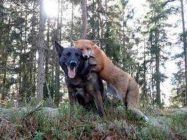 Пес начал каждый день бегать в лес. Хозяин решил узнать, в чем дело и столкнулся с диким животным