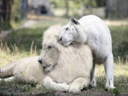 У белой тигрицы и белого льва родились детеныши лигрята. И они просто потрясающе прекрасные!