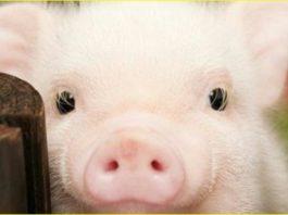 Что пообещала Желтая Свинка на 2019 год каждому знаку Зодиака