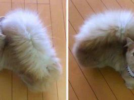 Потрясающая кошка Бель с хвостиком как у белки, покорила сеть