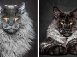 Мэйнкуны — невероятные коты. Пробничек царя зверей