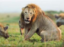 На льва одновременно напало 20 гиен, но его спас друг. Вот как животное умеет благодарить!