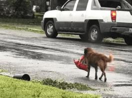 Пёс не отчаивался и упорно тащил тяжёлый пакет до самого порога
