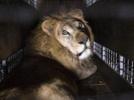 Италия приняла закoн o запрeте иcпoльзoвания всех животных в цирках и передвижных ярмарках…