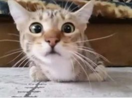 Кот, который смотрит фильм ужасов, стал звездой интернета