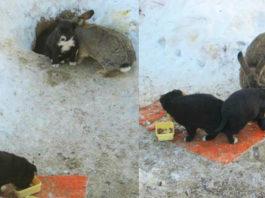 Кролик вязал под защиту трёх бездомных щенков. Ушастый папочка согревал их и кормил