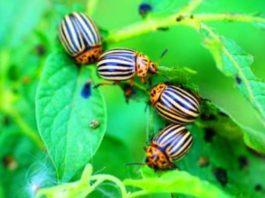 Проверенный метод, который поможет навсегда избавиться от колорадского жука