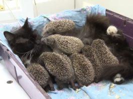 Кошка Муся усыновила 8 сирот-ежиков, и стала для них любящей мамочкой. Чудо-семейка