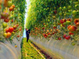 Работницы теплиц не едят свои помидоры. Откровенное интервью…