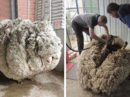 В Австралии поймали овцу-бродягу, который ушел от человека и скитался 5 лет