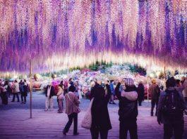 В Японии расцвело дерево размером с небольшую ферму — зрелище завораживает