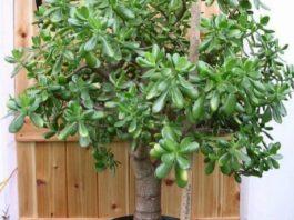 Многие выращивают дома «Денежное дерево»: знайте, что вы поливаете и выращиваете. Притягивает, как магнит