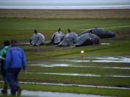 На берег Северного моря выбросило 29 китов. То что обнаружилось у них в животах шокирует