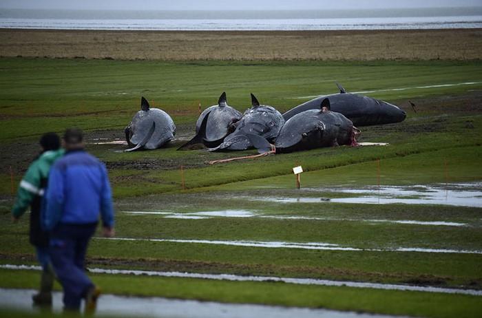 На берег Северного моря выбросило 29 китов. То что обнаружилось у них в животах шокирует!