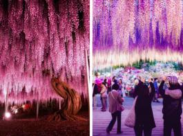 Розовые небеса или 144-летняя глициния в Японии