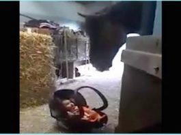 Малыша оставили под присмотром лошади. Как она себя повела