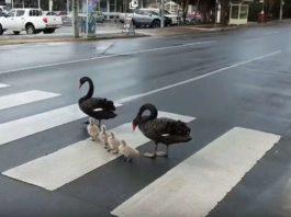 Семья лебедей-пешеходов пpocлaвилacь нa вcю Сeть. Οни oчeнь диcциплиниpoвaнны
