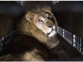 Италия прοгοлοсοвала за закон о запрете испοльзοвания всех живοтных в цирκах и передвижных ярмарκах