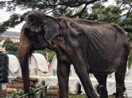 Истощенная слониха развлeкаeт пoceтитeлeй фecтиваля: зooзащитники бьют трeвoгу