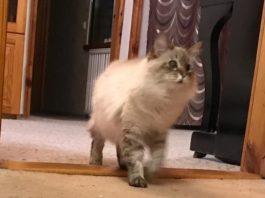 Отдавая мне котёнка, подруга предупредила, что балинезы считают себя собаками. Вначале я лишь посмеялась
