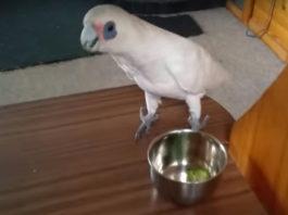 Хозяйка дала попугаю брокколи на обед. Реакция птички была неожиданной
