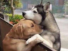 Собака убегает из своего двора, чтобы через забор обнять лучшего друга