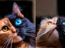 Двуликая кошка Квимера с аномальным окрасом покорила интернет