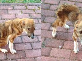 Как бездомный щенок с травмированным позвоночником смог найти хозяев в другой стране