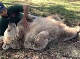Медведица узнала человека, который заботился о ней в детстве