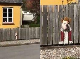 Бульдог смотрит на улицу через дыру в заборе, и владельцы поняли, как рассмешить этим всех