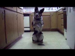Это самая умная собака в мире. Ее интеллект поражает