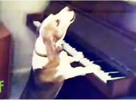 Вы не поверите своим глазам. Пес играет на пианино и великолепно поет