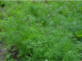 Как посеять укроп в июле, чтобы пышная зелень быстро выросла
